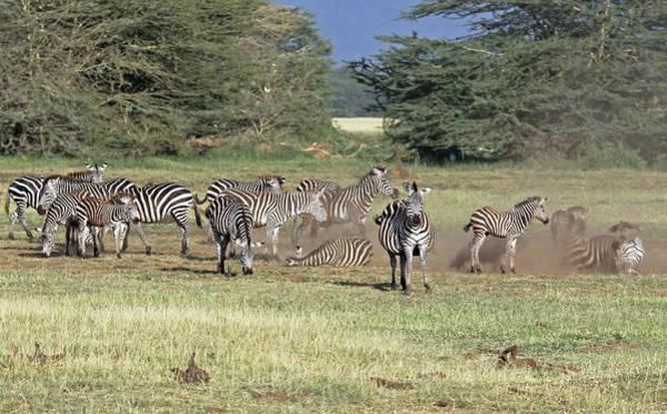 Photograph - Zebra Dust Bath by Tony Murtagh
