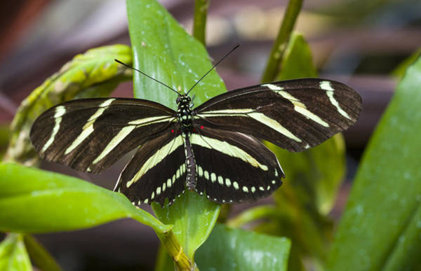 Photograph - Zebra Heliconian Butterfly by Jack R Perry