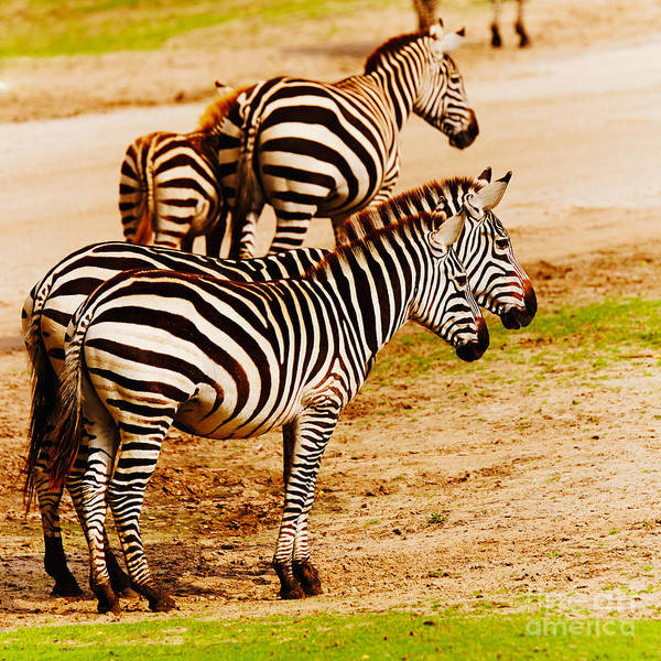 Photograph - Zebras Close Together by Nick  Biemans