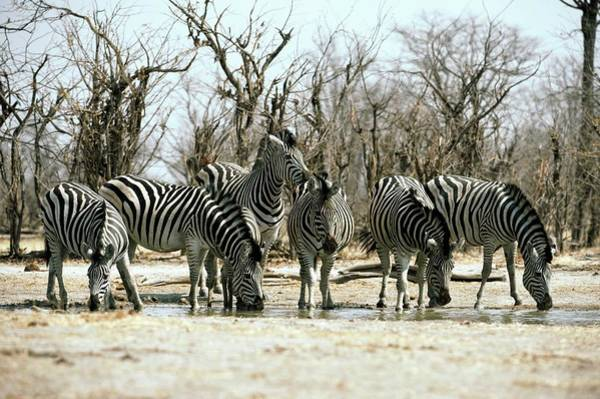 Wall Art - Photograph - Zebras Drinking by Dr P. Marazzi/science Photo Library