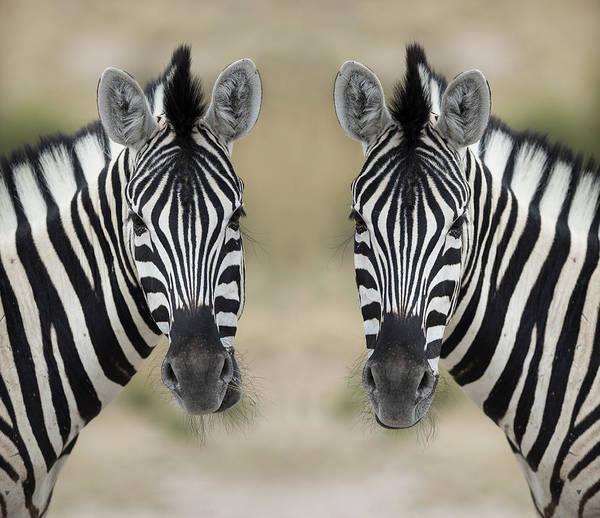 Focus Wall Art - Photograph - Zebras by Franz Aberham