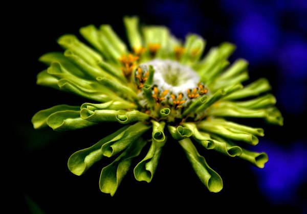 Zinnia Flower Wall Art - Photograph - Zinnia by Jessica Jenney