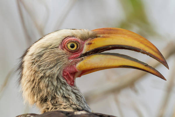 Hornbill Photograph - Africa, South Africa, Londolozi Private by Jaynes Gallery
