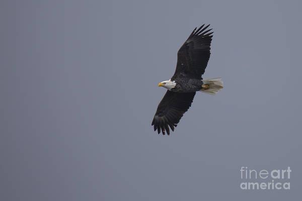 Iowa Photograph - Bald Eagle In Burlington Iowa by Twenty Two North Photography
