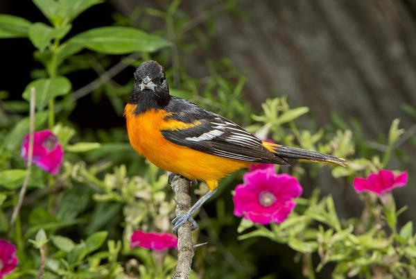 Icterid Photograph - Baltimore Oriole by Anthony Mercieca