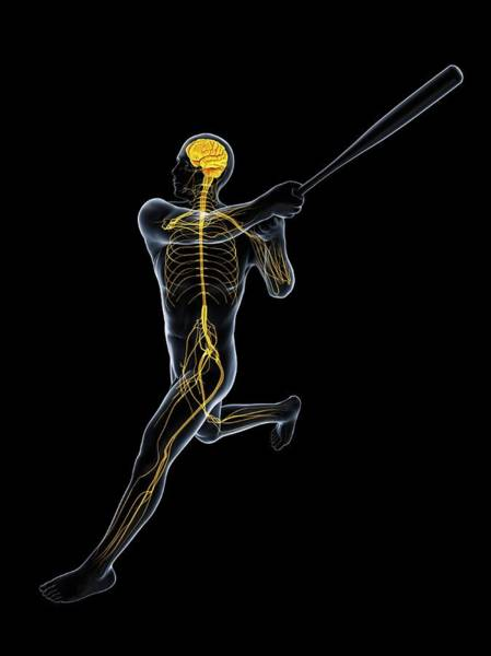 Nervous System Photograph - Baseball Player by Sciepro/science Photo Library