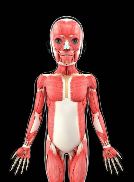 Nasalis Photograph - Child's Muscular System by Pixologicstudio