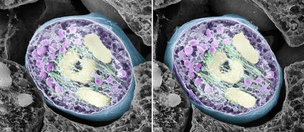 Scanning Electron Micrograph Wall Art - Photograph - Dividing Pollen Cell by Professor T. Naguro