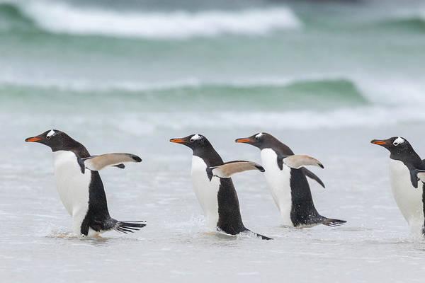 Jumping Photograph - Gentoo Penguin (pygoscelis Papua by Martin Zwick