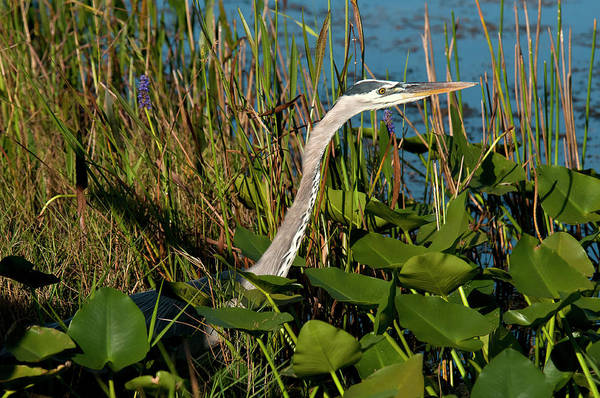 The Great Outdoors Photograph - Great Blue Heron by Mark Newman