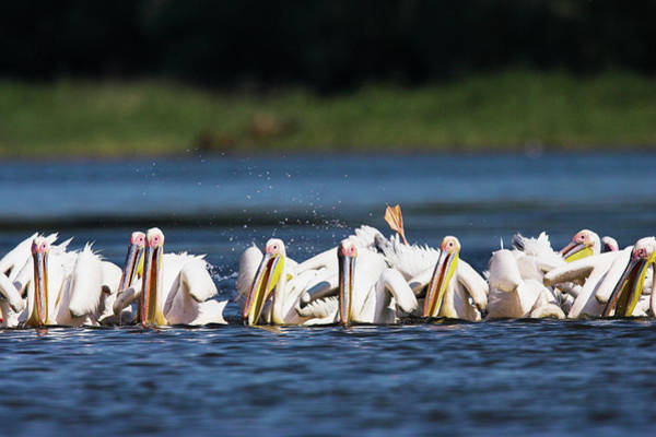 Wingspan Photograph - Great White Pelican (pelecanus by Martin Zwick