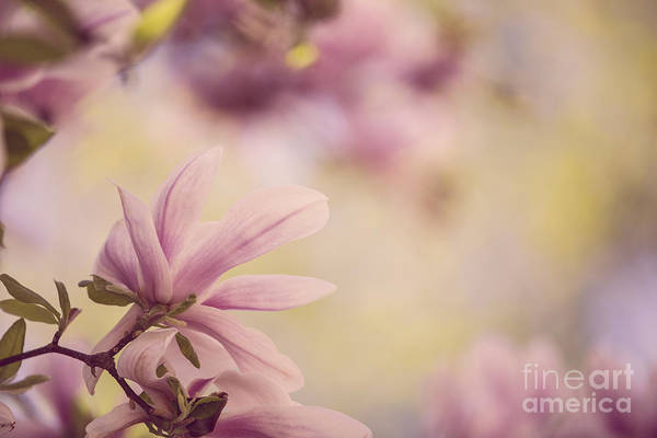Shrubs Photograph - Magnolia Flowers by Nailia Schwarz