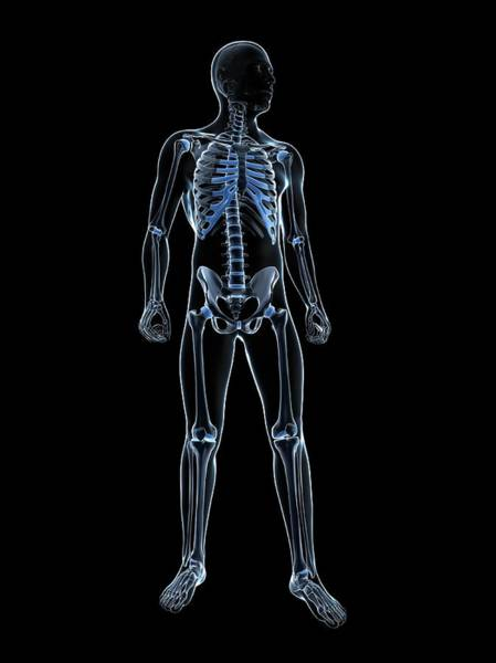 Normal Photograph - Male Skeleton by Sciepro/science Photo Library