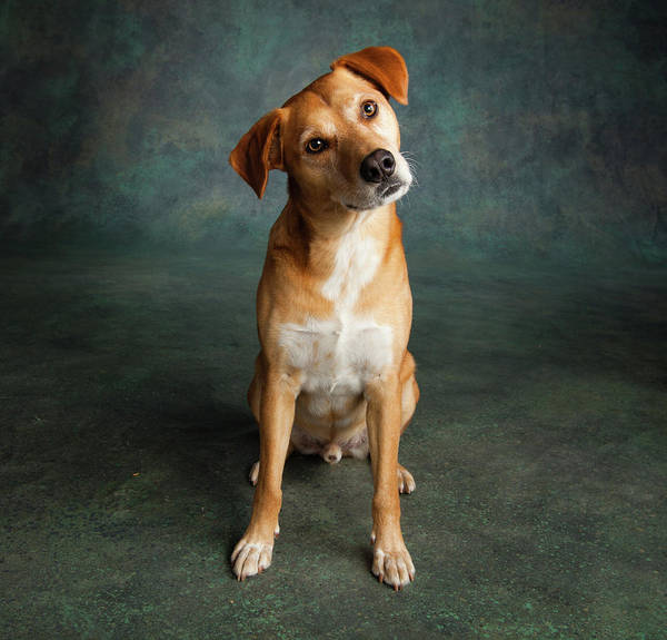 Wall Art - Photograph - Portrait Of Red Bone Coon Mix Dog by Animal Images
