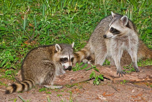 Wall Art - Photograph - Raccoons by Millard H. Sharp