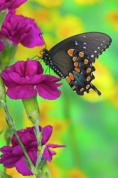 Carnation Photograph - Spicebush Swallowtail Butterfly by Darrell Gulin