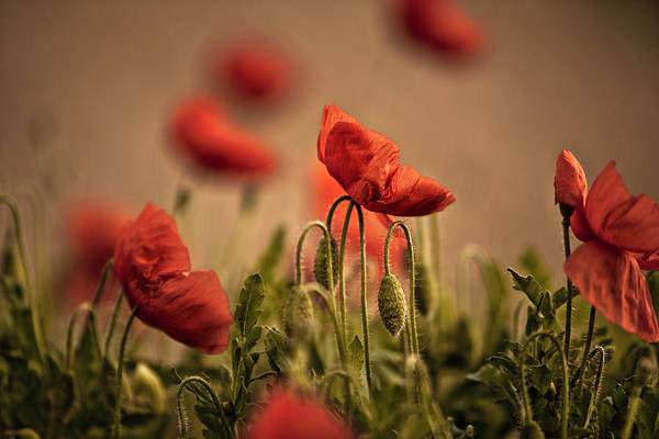 Poppies Photograph - Summer Poppy by Nailia Schwarz