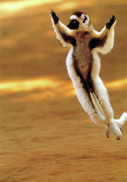 Wall Art - Photograph - Verraeaux's Sifaka Lemur by Tony Camacho/science Photo Library