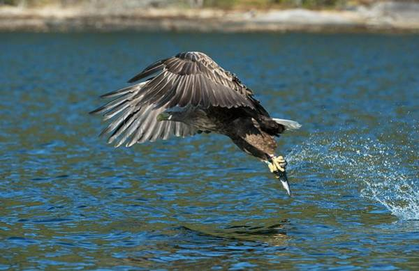 Wall Art - Photograph - White-tailed Eagle Hunting by Dr P. Marazzi/science Photo Library