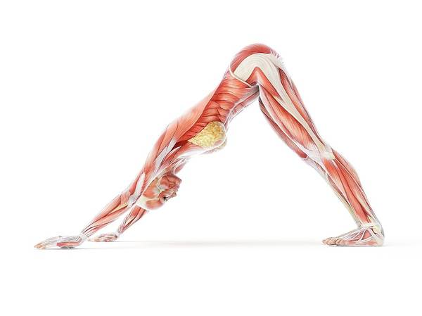 Anatomical Position Wall Art - Photograph - Yoga by Sciepro/science Photo Library