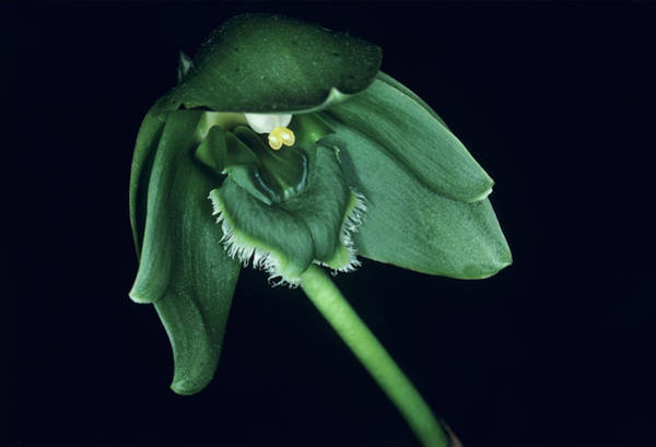 Unopened Wall Art - Photograph - Orchid Flower by Paul Harcourt Davies/science Photo Library