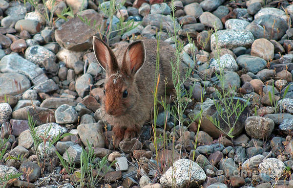 Photograph - 103p Snowshoe Hare by NightVisions