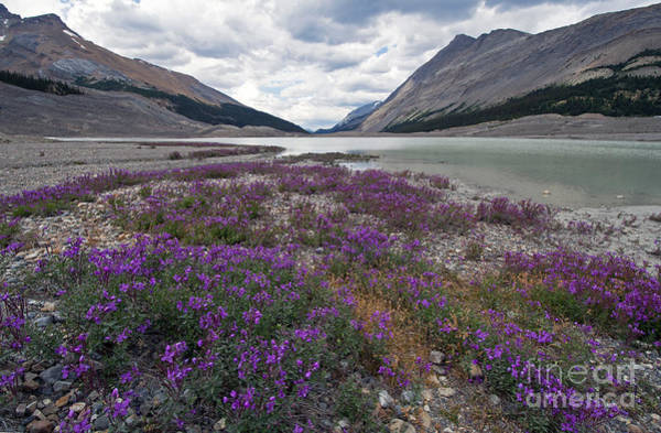 Photograph - 1049p Northern Sweetvetch Canada by NightVisions