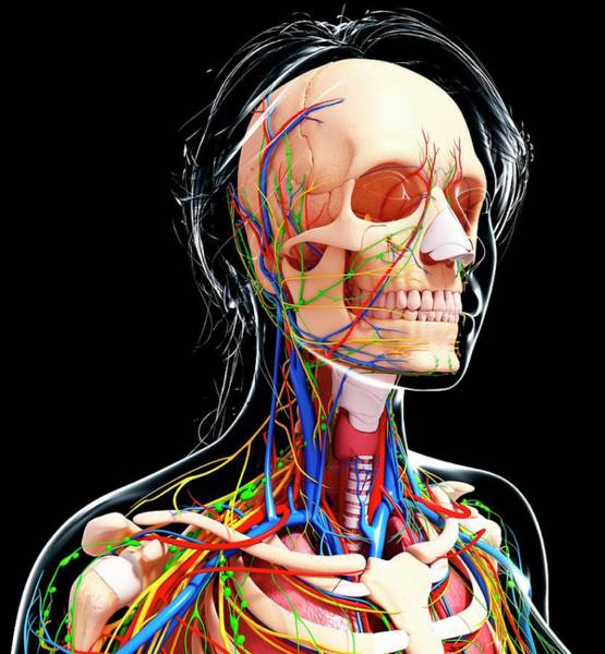 Head And Shoulders Photograph - Female Anatomy by Pixologicstudio/science Photo Library