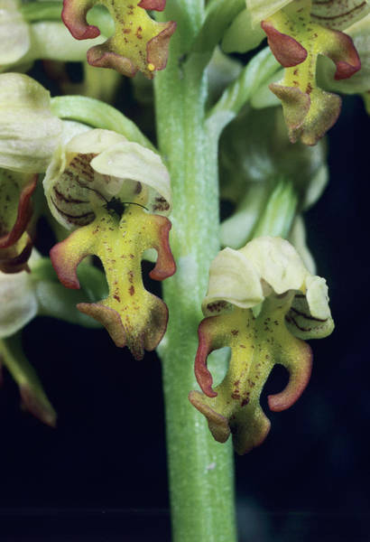 Orchis Photograph - Orchid Flowers by Paul Harcourt Davies/science Photo Library