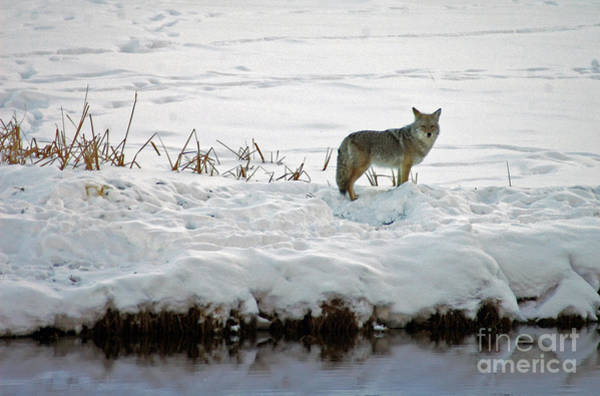 Photograph - 108p Coyote by NightVisions