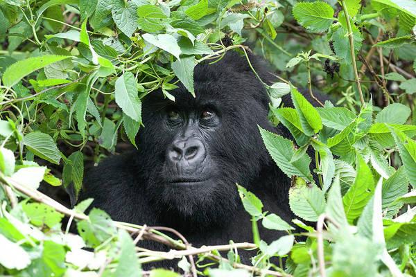Rwanda Photograph - Africa, Rwanda, Volcanoes National Park by Ellen Goff