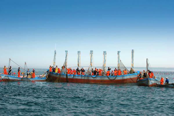 Trapping Photograph - Almadraba Tuna Fishing by Louise Murray