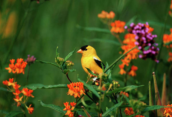 Susan Photograph - American Goldfinch (carduelis Tristis by Richard and Susan Day