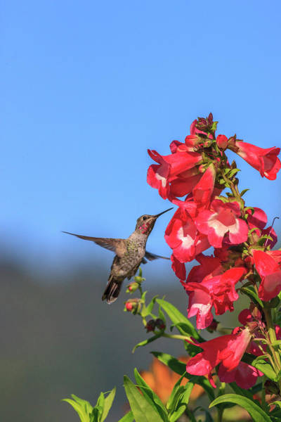 Hummingbird Feeder Photograph - Anna's Hummingbird by Tom Norring