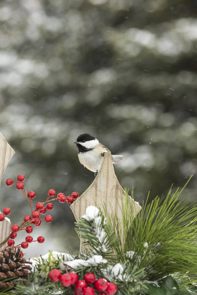 Wall Art - Photograph - Black-capped Chickadee by Linda Arndt