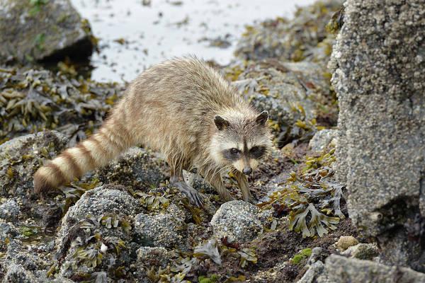 Raccoon Photograph - Canada, British Columbia, Gulf Islands by Kevin Oke