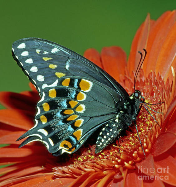 Duval County Photograph - Eastern Black Swallowtail by Millard H. Sharp