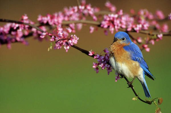 Susan Photograph - Eastern Bluebird (sialia Sialis by Richard and Susan Day