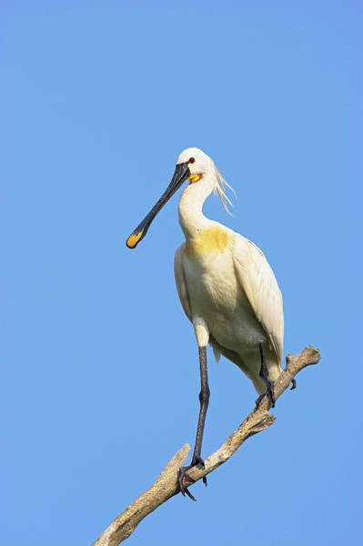 Migratory Birds Photograph - Eurasian Spoonbill Or Common Spoonbill by Martin Zwick