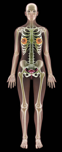 Wall Art - Photograph - Female Anatomy by Medi-mation/science Photo Library