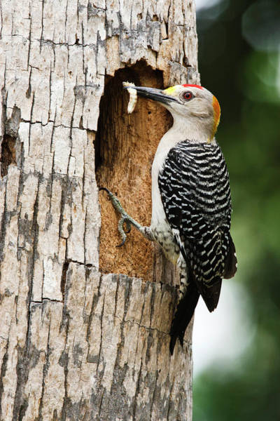 Bird Feeding Photograph - Golden-fronted Woodpecker (melanerpes by Larry Ditto