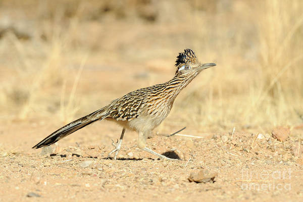 Cuculidae Photograph - Greater Roadrunner by Scott Linstead