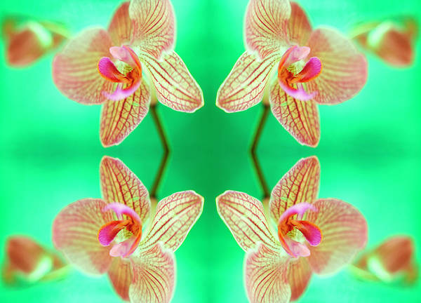 Wall Art - Photograph - Orchid Flowers by Ian Hooton/science Photo Library