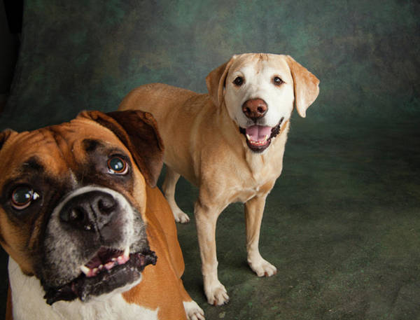 Lab Photograph - Portrait Of A Boxer Dog And Golden by Animal Images