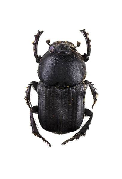 Arthropods Wall Art - Photograph - Scarab Beetle by F. Martinez Clavel