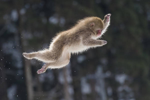 Photograph - Snow Monkey Japan by John Shaw