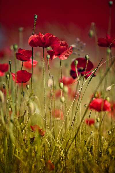 Red Poppies Wall Art - Photograph - Summer Poppy by Nailia Schwarz