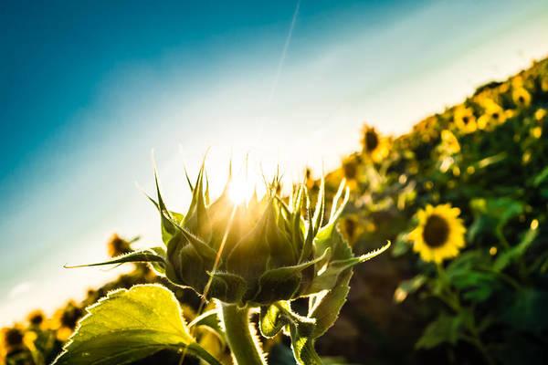 Photograph - Sunburst Sunflower by Melinda Ledsome