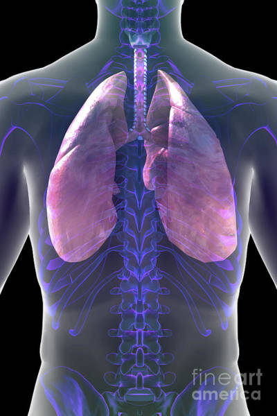 Photograph - The Respiratory System by Science Picture Co