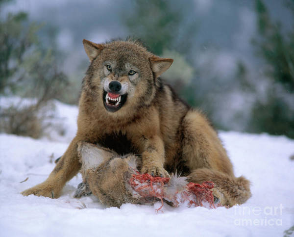 Growling Wall Art - Photograph - Timber Wolf by Hans Reinhard